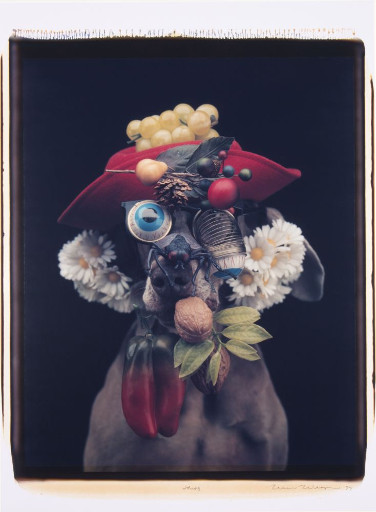 portrait of a Weimaraner dressed with a hat, daisies, fruit, vegetables and droopy eye spring glasses