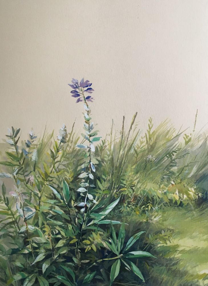 """Lupin  22"""" x 15""""  Watercolor On Buff Paper"""
