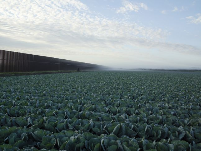 Cabbage Crop Near Brownsville, Texas, 2015