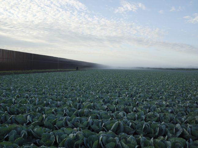 Cabbage Crop Near Brownsville, Texas, 2015