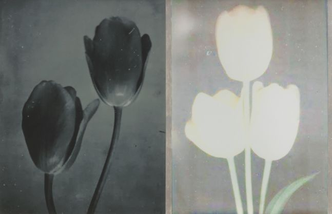 Extinct: Two Tulips, 2019
