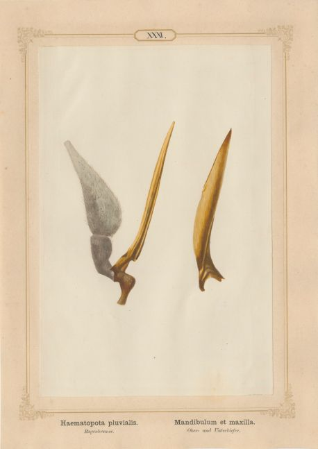 """Ernst HEEGER (Austrian, 1783-1866) """"Haematopota pluvialis. Mandibulum et maxilla."""" (Upper and lower jaws of common horse fly), 1861 Hand colored salt print from a glass negative 20.3 x 13.4 cm mounted on 26.0 x 18.5 cm sheet  Numbered in ink with printed titles in Latin and German on mount"""