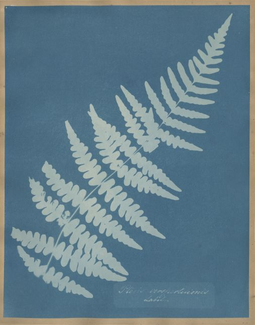 "Anna ATKINS (English, 1799-1871) ""Pteris Verspertilionis Labil"", circa 1851-1854 Cyanotype photogram 25.7 x 20.2 cm mounted on 37.4 x 23.4 cm album page Handwritten title within the plate. ""18"" in pencil on mount verso."