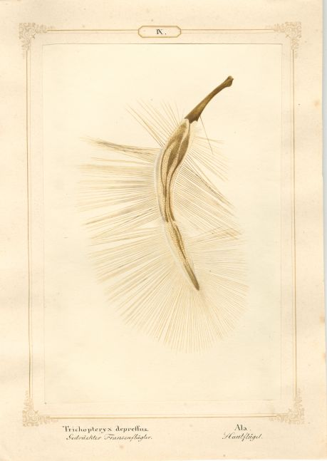 "Ernst HEEGER (Austrian, 1783-1866) ""Trichopteryx depressus. Ala."" Acrotrichis matthewsiana. (Plumose hindwing of flattened featherwing beetle), 1860 Hand colored salt print from a glass negative 20.3 x 13.5 cm mounted on 26.0 x 18.5 cm sheet  Numbered and titled in Latin and German in ink on mount"