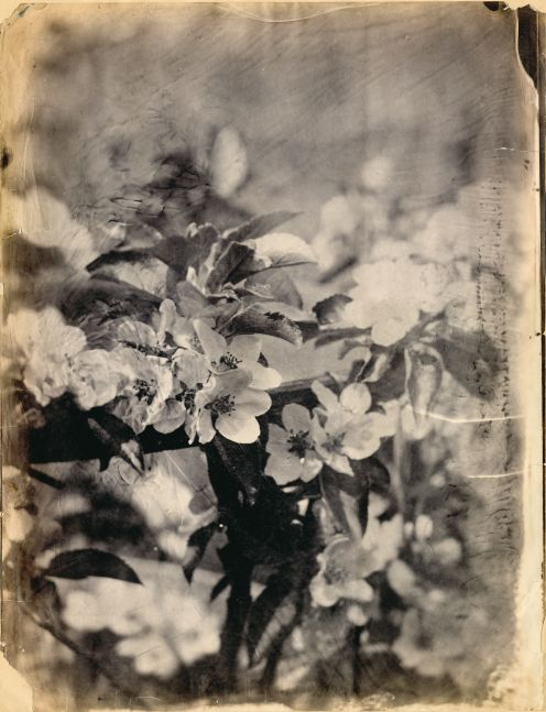 "Unidentified photographer attributed to the Circle of Charles Simart Apple blossoms (detail), Folio 6 recto*, from the album assembled circa 1856-1860 Salt print from an enlarged collodion negative 43.9 x 33.3 cm Inscribed ""Chicago 215"" and ""Chic 215"" by André Jammes in pencil on mount"