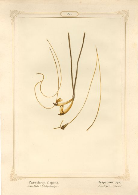 "Ernst HEEGER (Austrian, 1783-1866) ""Caraphron elegans. Ovipolitor. (apex)"" (Egg layer of dainty parasitoid wasp), 1860 Hand colored salt print from a glass negative 20.6 x 13.7 cm mounted on 26.0 x 18.5 cm sheet  Numbered and titled in Latin and German in ink on mount"