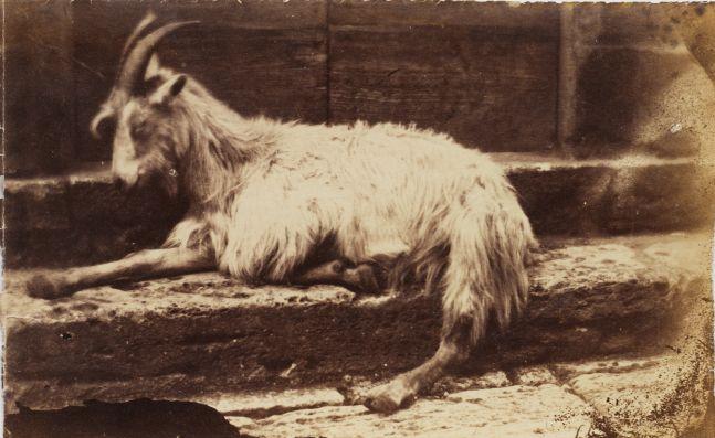 Circle of Giacomo CANEVA (Italian, 1813-1865) Reclining goat in Rome, 1850s Albumen print from a collodion negative 13.3 x 21.3 cm
