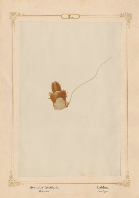 "Ernst HEEGER (Austrian, 1783-1866) ""Acanthia lectularia. Labium."" Cimex lectularis. (Lower lip and suction tubes of mouthparts of bed bug), 1861 Hand colored salt print from a glass negative 20.2 x 13.3 cm mounted on 26.0 x 18.5 cm sheet  Numbered in ink with printed titles in Latin and German on mount"