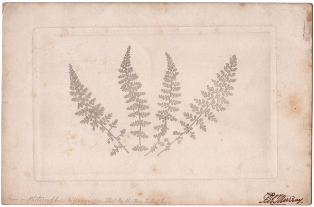 "William Henry Fox TALBOT (English, 1800-1877) Four ferns, 1852 or soon after Photographic engraving 12.8 x 20.3 cm plate on 17.0 x 25.9 cm paper Inscribed ""Rob. Murray"" in ink and ""From a Photographic Engraving on Steel by H. Fox Talbot Esqr"" in pencil"