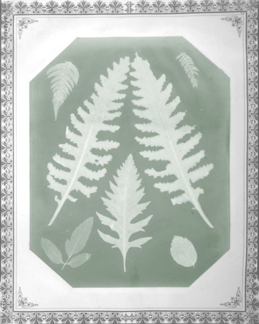 "Amelia E. BERGNER (American, 1853-1923) Seven botanical specimens, circa 1877 Photogram on chromate based printing-out paper 28.9 x 22.9 cm, corners clipped, mounted on 40.7 x 34.2 cm album page Partial watermark ""Linen Record"" visible"