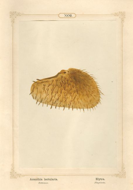 "Ernst HEEGER (Austrian, 1783-1866) ""Acanthia lectularia. Elytra."" Cimex lectularis. (Wing cover of bed bug), 1861 Hand colored salt print from a glass negative 20.2 x 13.4 cm mounted on 26.0 x 18.5 cm sheet  Numbered in ink with printed titles in Latin and German on mount"