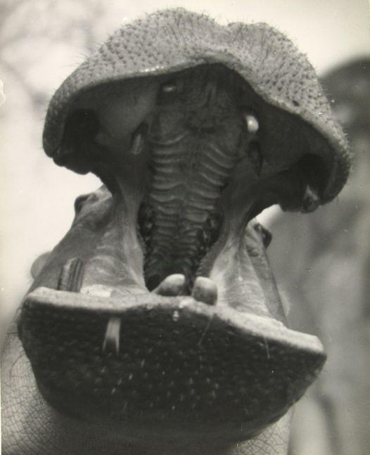"Martin MUNKACSI (Hungarian, 1896-1963) ""Zoo in Budapest, Joe E. Brown"" , 1920s Gelatin silver print 33.8 x 27.0 cm Inscribed ""Zoo in Europe 1927-1933"" in pencil on verso"