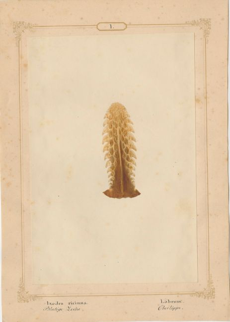 """Ernst HEEGER (Austrian, 1783-1866) """"Ixodes ricinus. Labrum."""" (Upper lip of mouthparts of dog tick), 1860 Hand colored salt print from a glass negative 20.2 x 13.4 cm mounted on 26.0 x 18.5 cm sheet Numbered and titled in Latin and German in ink on mount"""