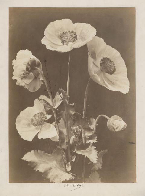 """Charles Hippolyte AUBRY (French, 1811-1877) Poppies, 1860s Albumen print 37.2 x 27.0 cm, mounted Signed """"Ch. Aubry"""" in ink on mount"""