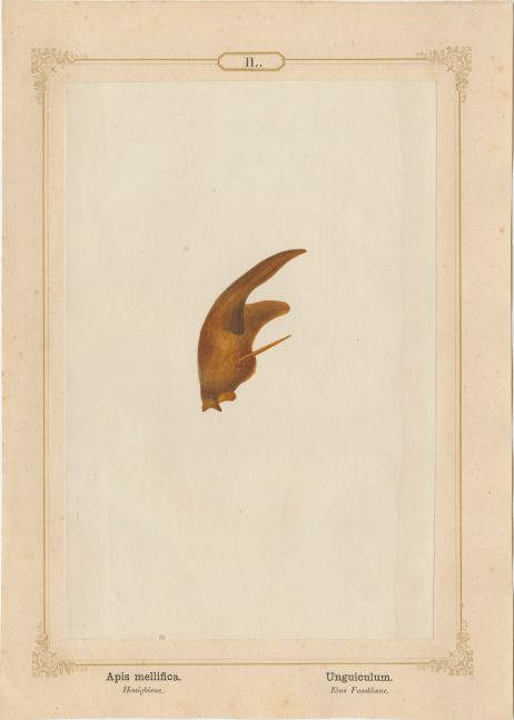 "Ernst HEEGER (Austrian, 1783-1866) ""Apis mellifica. Unguiculum."" Apis mellifera. (Foot claw of honey bee), 1861 Hand colored salt print from a glass negative 20.2 x 13.4 cm mounted on 26.0 x 18.5 cm sheet  Numbered in ink with printed titles in Latin and German on mount"