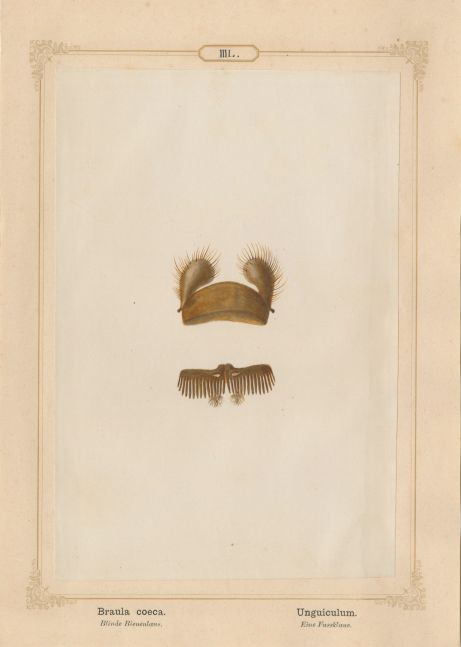 "Ernst HEEGER (Austrian, 1783-1866) ""Braula coeca. Unguiculum."" (Foot claw of bee louse), 1861 Hand colored salt print from a glass negative 20.5 x 13.7 cm mounted on 26.0 x 18.5 cm sheet  Numbered in ink with printed titles in Latin and German on mount"