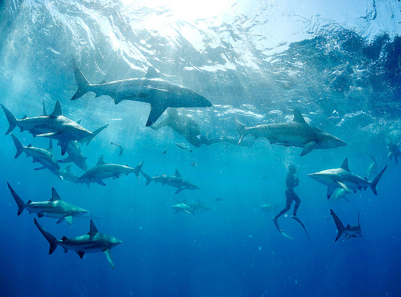 school of sharks with swimmers