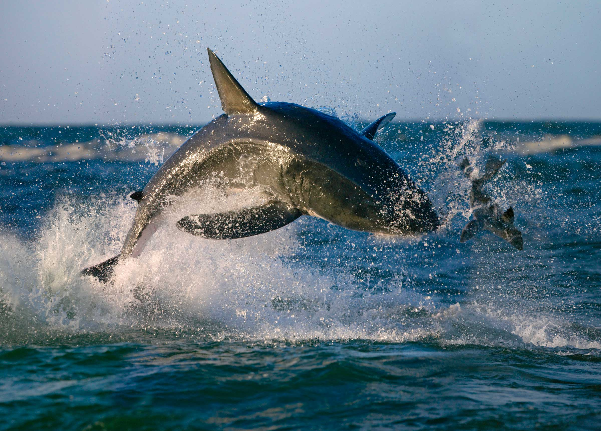 Shark chasing seal