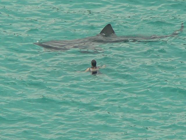 shark circling swimmer