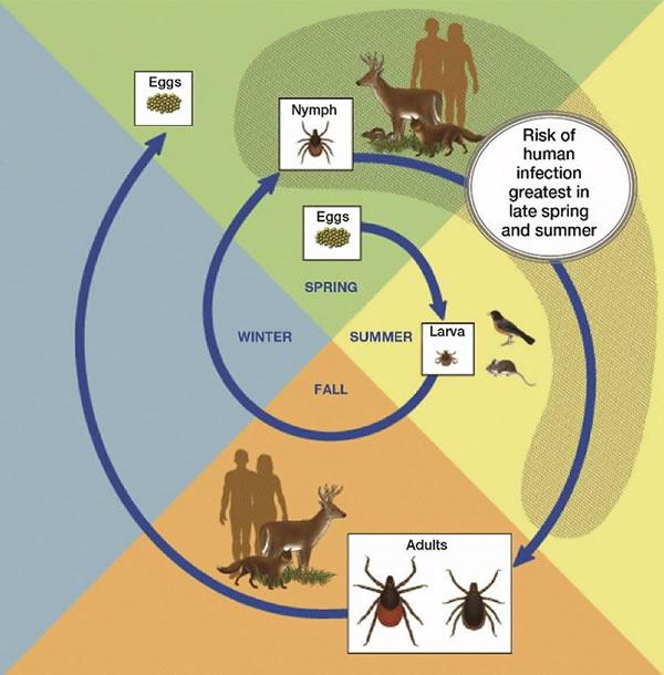Lyme disease in Canada: Focus on childrenLyme disease in