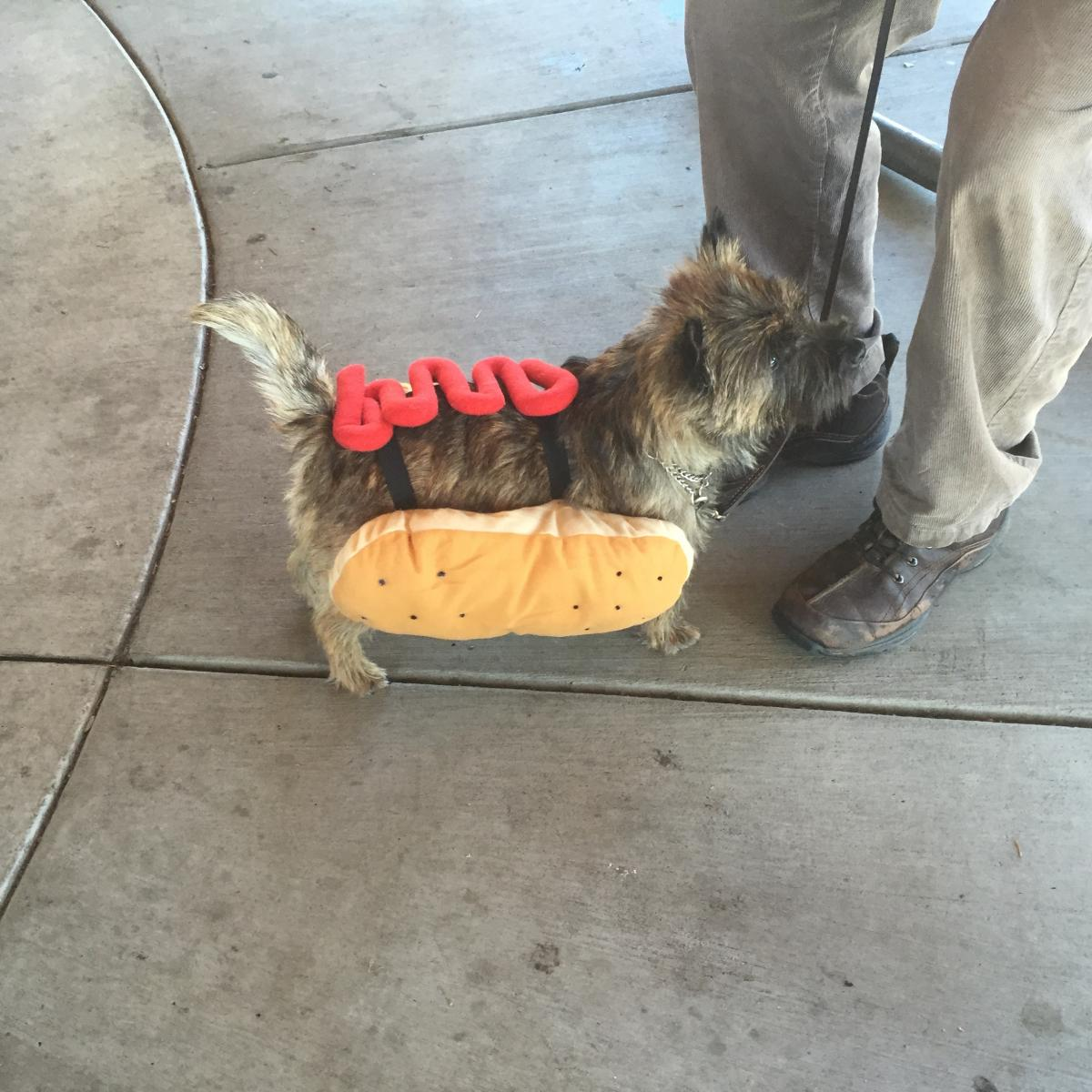 Hot Dog - 2015 Toto Trot - Columbia River Cairn Terrier Club