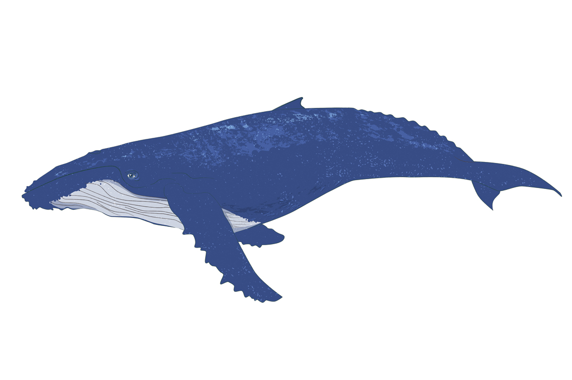 Humpback whale clipart - photo#2