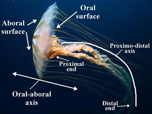 digication eportfolio box jellyfish storyboard rh mercy digication com Star Tetrahedron Starfish Oral Surface of A
