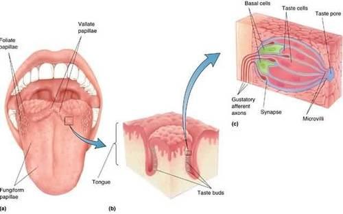 Digication Eportfolio Physics Of The Nervous System Taste