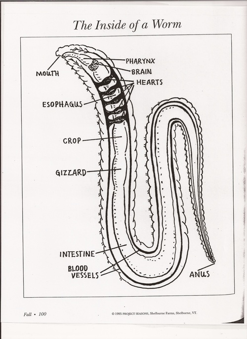 Fantastic Anatomy Of Worms Adornment - Anatomy And Physiology ...