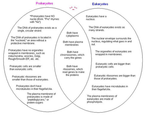 Prokaryotic And Eukaryotic Cells Venn Diagram Yelomdiffusion