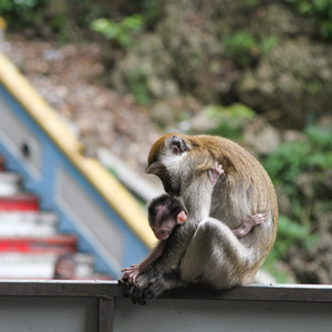 Macaque monkey and child