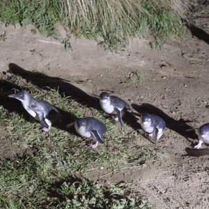 Little blue penguins coming up the hill