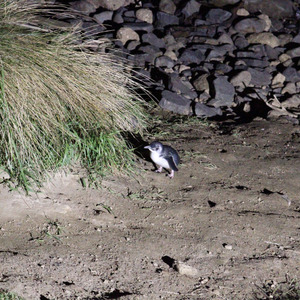 Little blue penguin coming up from the beach