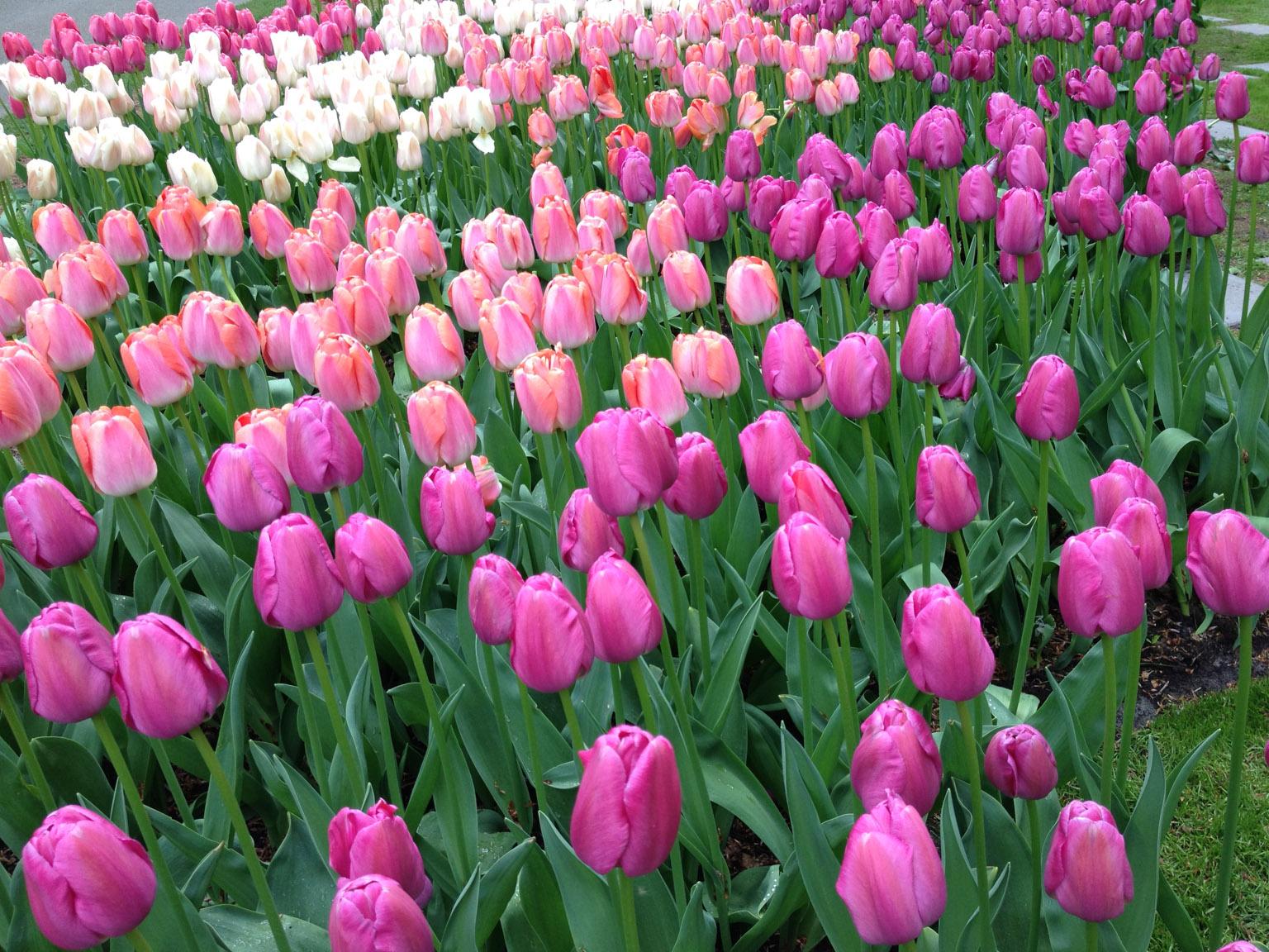 keukenhof gardens  netherlands  u2022 may  2013  u2022 douglas stebila