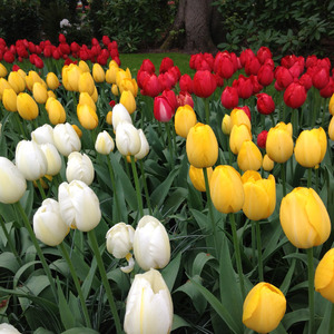White, yellow, and red tulips