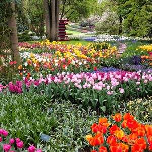 Many colours of tulips
