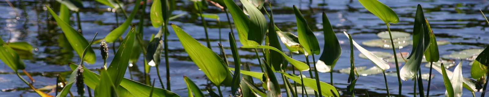 Reeds, Cache Lake