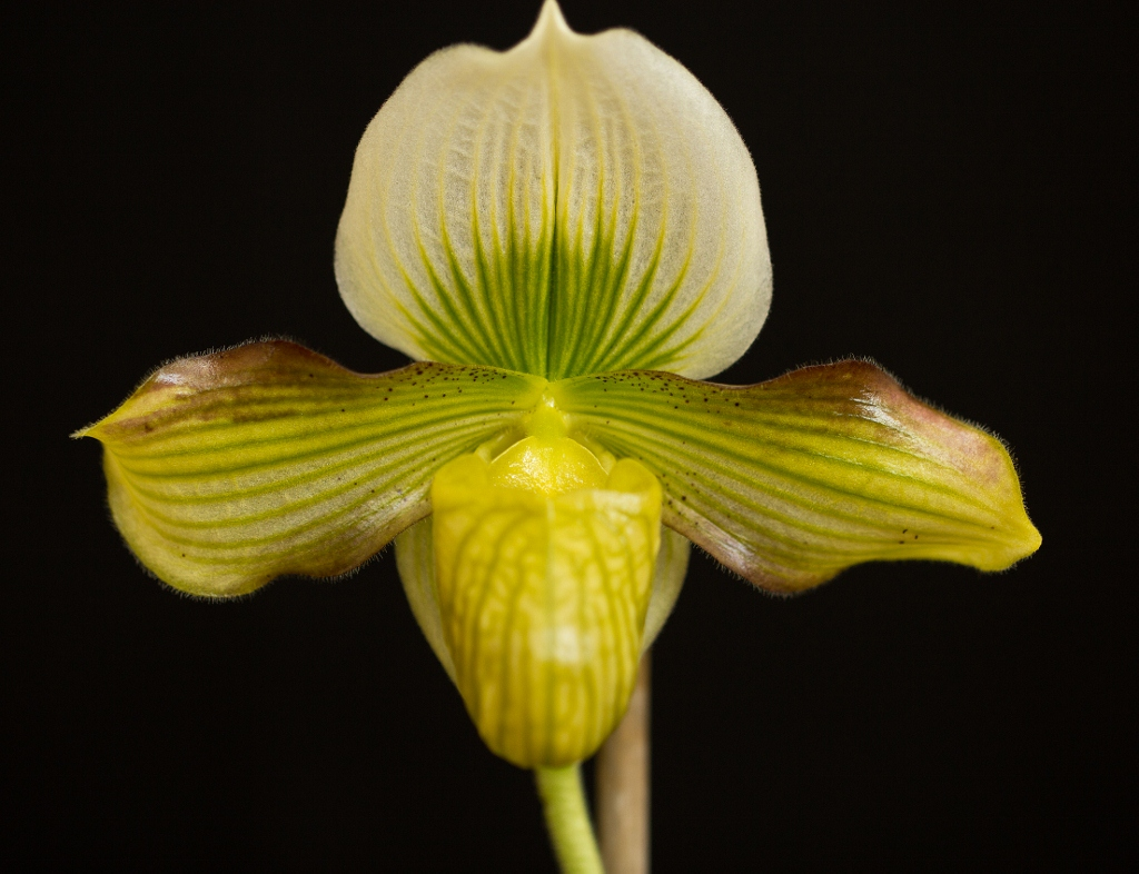 Paph. venustum x Impression Waters