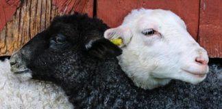 etfs like lambs