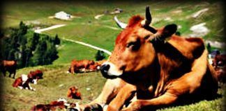 Bulls Have Muscle Fatigue