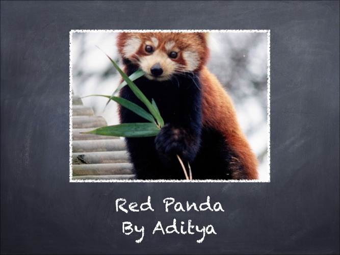 All About Red Pandas