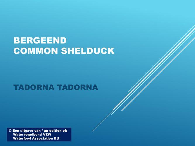 Bergeend - Common shelduck