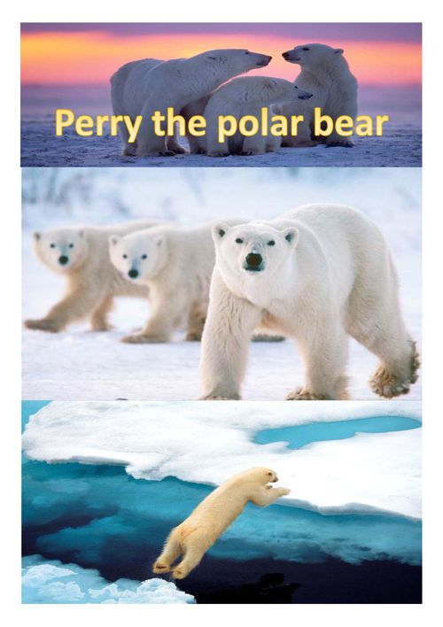 perry the polar bear