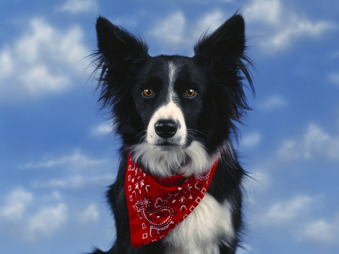 Reasons Why Border Collie are the best dog breed
