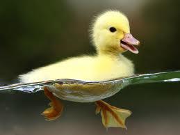 Run, Duck, Run!