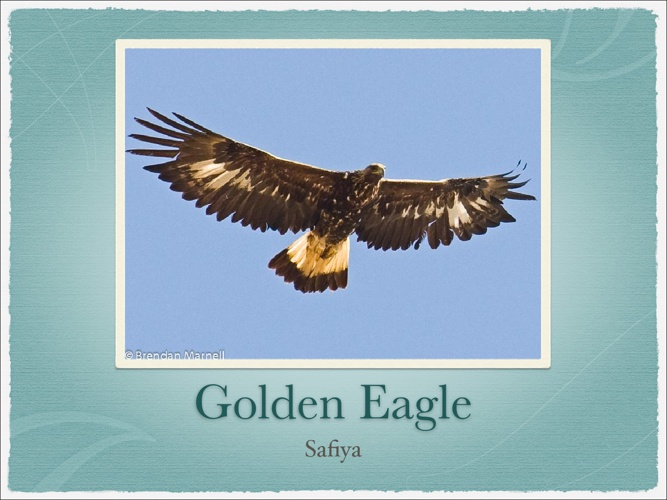 All About Golden Eagles