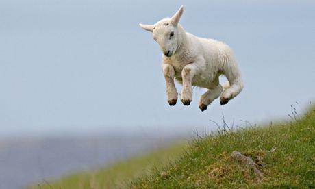 Spring-Lamb.-Image-shot-2-011