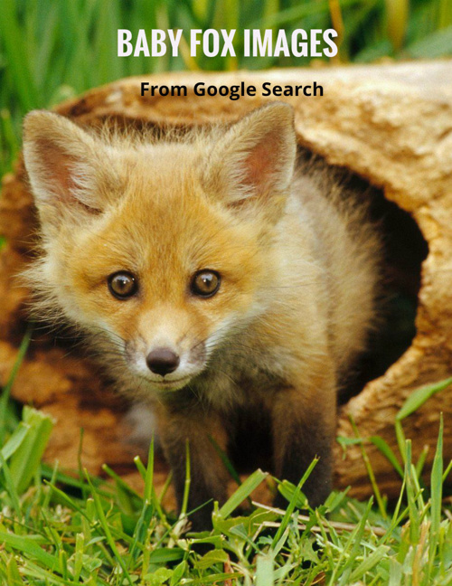 Baby Fox Images
