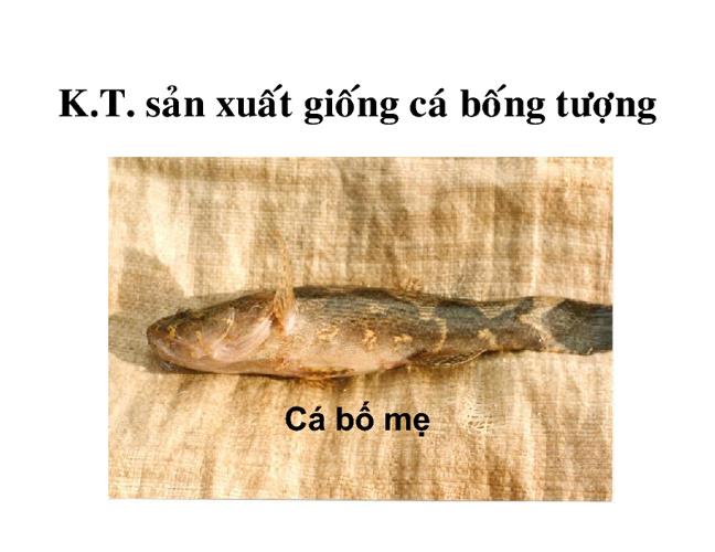Kỹ Thuật Sản Xuất Giống Cá Bống Tượng