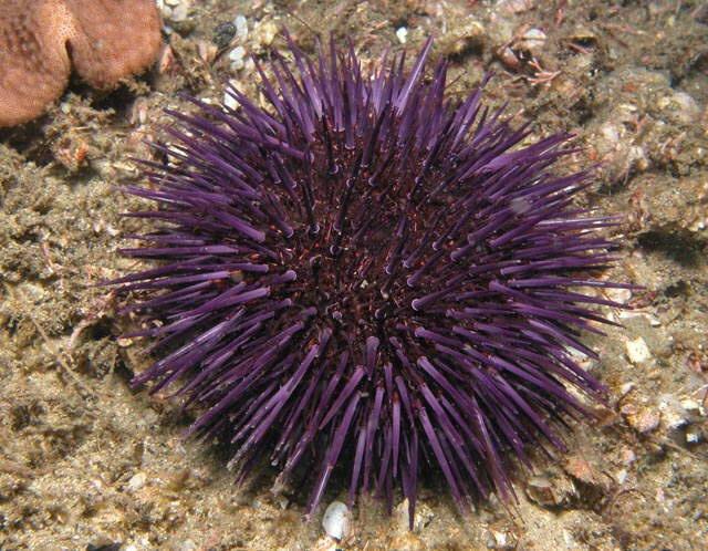Purple Sea Urchins